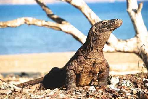 Wisata Pulau Komodo Yang Dilirik Wisatawan Lokal Maupun Wisatawan Mancanegara 05 - Finansialku