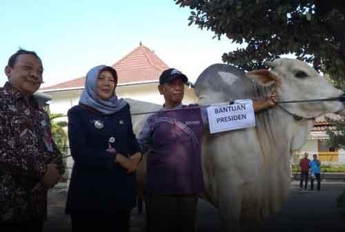 Sapi Jokowi di Bantul