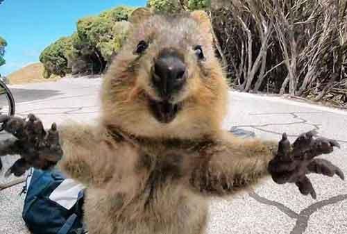 Penasaran Rahasia Liburan ke Perth Australia Gini Cara Mewujudkannya! 06 Quokka Rottnest Island - Finansialku