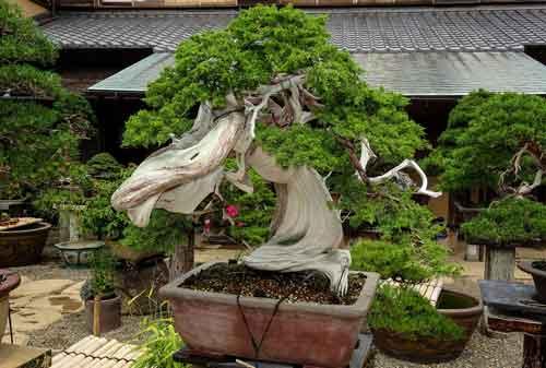 10 Pohon Bonsai Termahal Di Dunia Yang Indah Unik Dan Langka