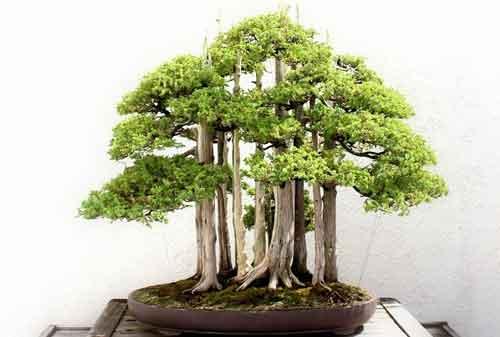 10 Pohon Bonsai Termahal di Dunia yang Indah, Unik dan Langka 04 Bonsai 4 - Finansialku