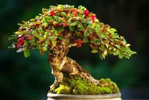 10 Pohon Bonsai Termahal di Dunia yang Indah, Unik dan Langka 05 Bonsai 5 - Finansialku