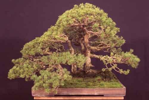10 Pohon Bonsai Termahal di Dunia yang Indah, Unik dan Langka 06 Bonsai 6 - Finansialku