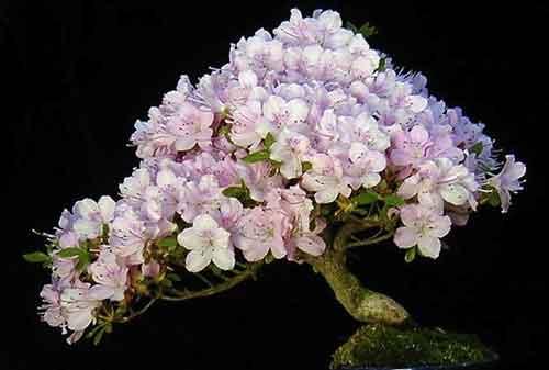 10 Pohon Bonsai Termahal di Dunia yang Indah, Unik dan Langka 08 Bonsai 8 - Finansialku