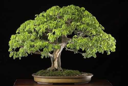10 Pohon Bonsai Termahal di Dunia yang Indah, Unik dan Langka 09 Bonsai 9 - Finansialku