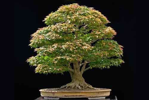 10 Pohon Bonsai Termahal di Dunia yang Indah, Unik dan Langka 11 Bonsai 11 - Finansialku