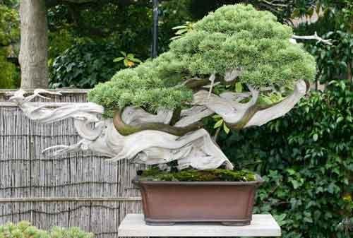 10 Pohon Bonsai Termahal di Dunia yang Indah, Unik dan Langka 12 Bonsai 12 - Finansialku