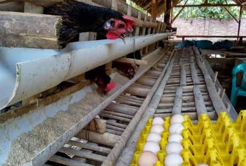 Ternak Ayam Kampung 04 - Finansialku