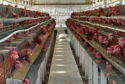 Ternak Ayam Kampung 05 - Finansialku
