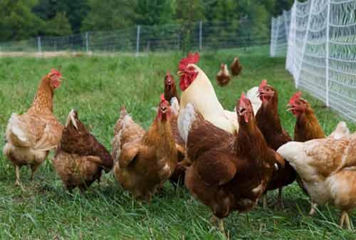 Ternak Ayam Kampung 07 - Finansialku