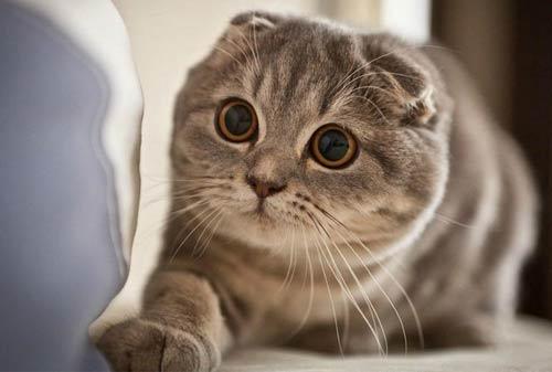 Kucing Termahal di Dunia 03 (The Scottish Fold Cat) - Finansialku