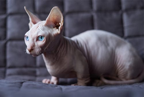 Kucing Termahal di Dunia 04 (The Sphynx Cat) - Finansialku