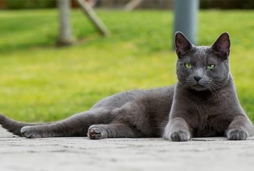 Kucing Termahal di Dunia 05 (The Russian Blue Cat) - Finansialku