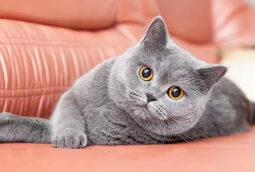 Kucing Termahal di Dunia 06 (The British Shorthair Cat) - Finansialku