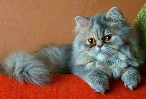 Kucing Termahal di Dunia 07 (The Persian Cat) - Finansialku