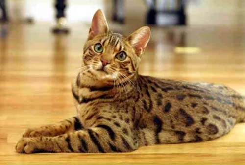Kucing Termahal di Dunia 08 (The Bengal Cat) - Finansialku