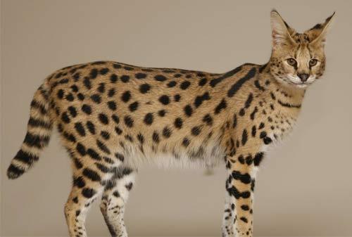 Kucing Termahal di Dunia 10 (The Savannah Cat) - Finansialku