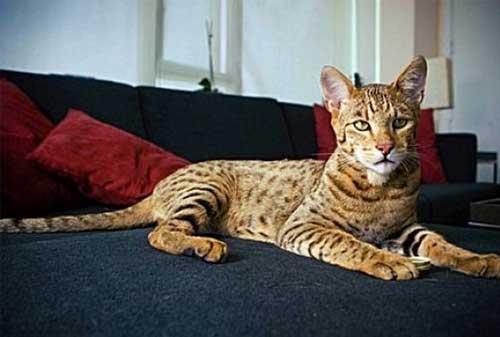 Kucing Termahal di Dunia 12 (The Ashera Cat) - Finansialku