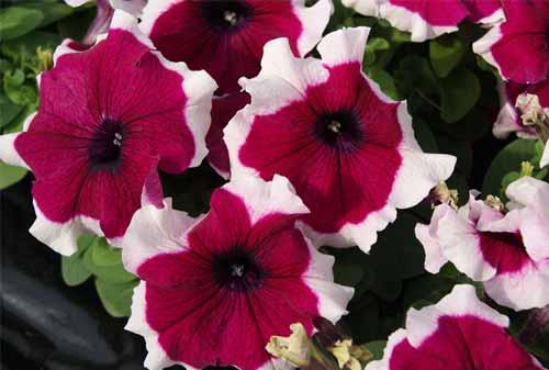 Tanaman Hias Gantung 06 (Petunia Red Picotee) - Finansialku