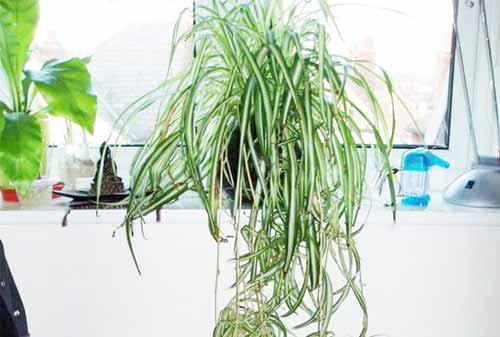 Tanaman Hias Gantung 07 (Clorophytum Comosum) - Finansialku