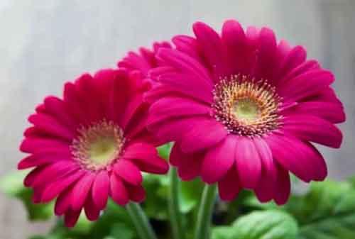 Biar Lebih Menawan dan Indah, Ini Jenis Bunga Hias yang Bisa Kamu Pakai 03 Bunga Aster - Finansialku