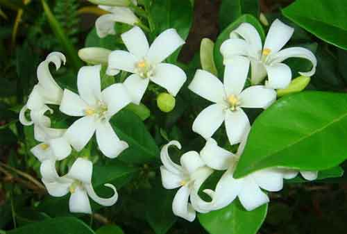 Biar Lebih Menawan dan Indah, Ini Jenis Bunga Hias yang Bisa Kamu Pakai 05 Bunga Kemuning - Finansialku