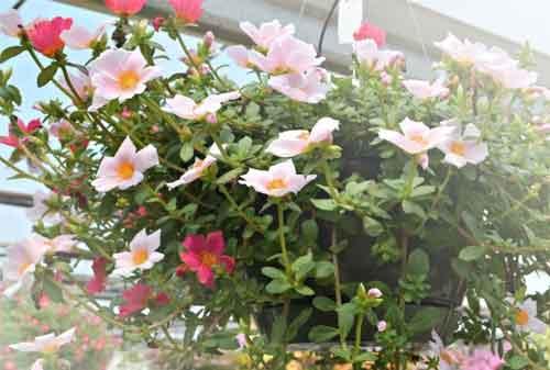 Biar Lebih Menawan dan Indah, Ini Jenis Bunga Hias yang Bisa Kamu Pakai 06 Bunga Portulaca - Finansialku