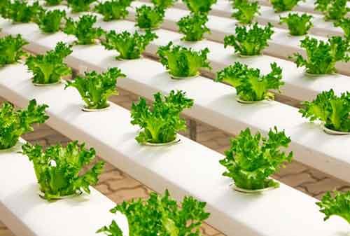 bisnis tanaman hidroponik