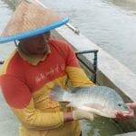 Panduan Lengkap Budidaya Ikan Nila Agar Cepat Panen 01 - Finansialku