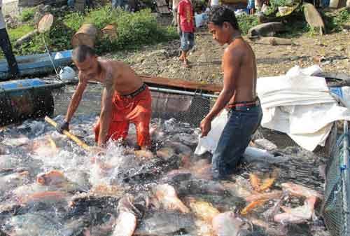 Panduan Lengkap Budidaya Ikan Nila Agar Cepat Panen 03 - Finansialku