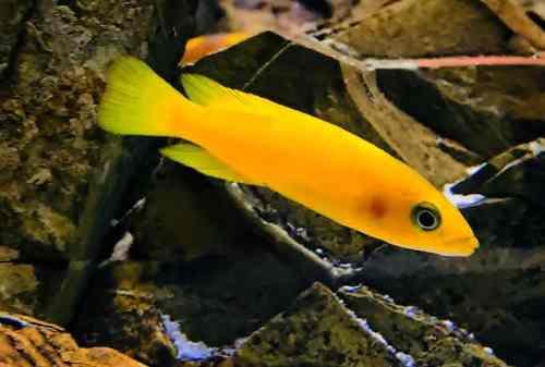 Unduh 540 Koleksi Gambar Ikan Air Tawar Indonesia Terpopuler