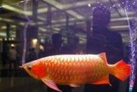 Tips Sukses Memulai Bisnis Budidaya Ikan Arwana 01 - Finansialku