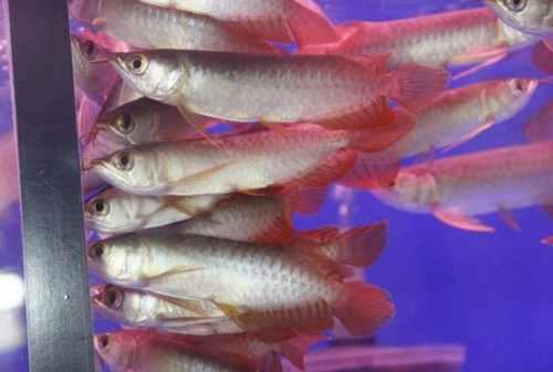 Tips Sukses Memulai Bisnis Budidaya Ikan Arwana 02 - Finansialku