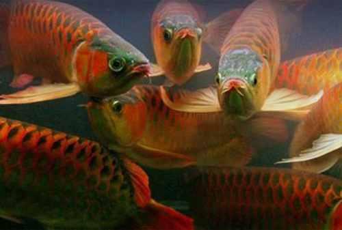 Tips Sukses Memulai Bisnis Budidaya Ikan Arwana 05 - Finansialku